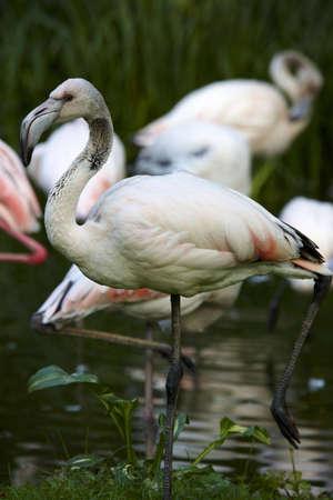flamingos: Flamingos Stock Photo