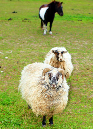 terrestrial mammals: Sheep