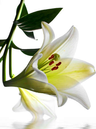 Lilly  flower closeup Stock Photo - 3731714