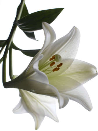 nymphaeaceae: Lilly  flower closeup Stock Photo