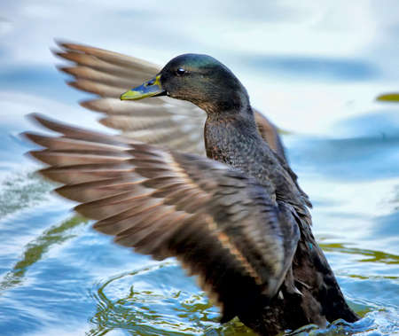 water fowl: Duck in the pond