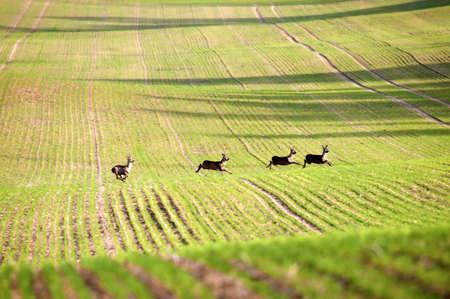 terrestrial mammals: Deer running through fields