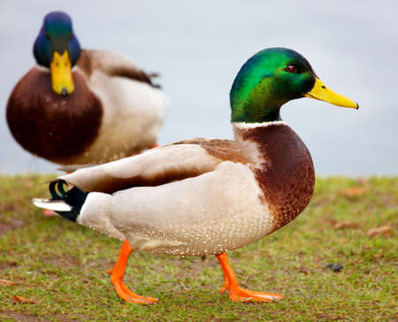 Duck in the pond photo