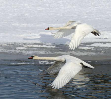 Swans in flight photo