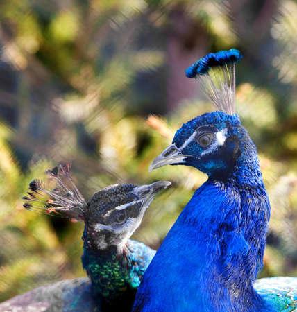 Peacocks Stock Photo - 4139796