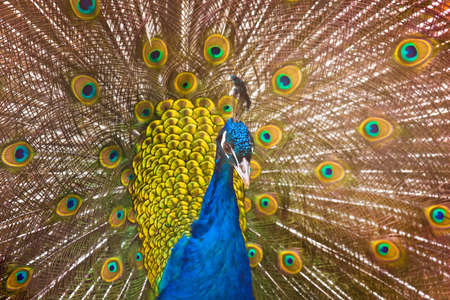 Peacock Stock Photo - 4491849
