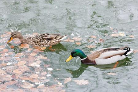 waterbird: Duck in the pond