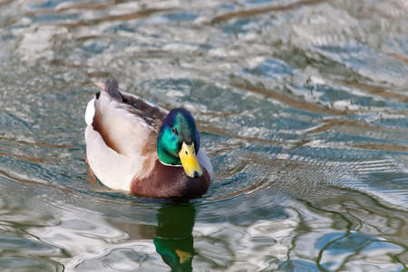 drakes: Duck in the pond
