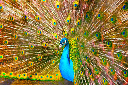Peacock Stock Photo - 4491837