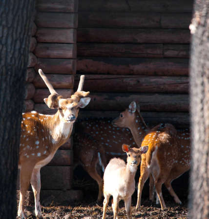 axis deer: Axis deer family