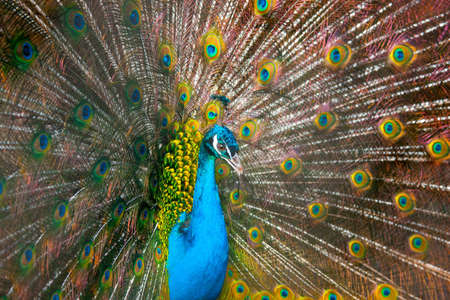 Peacock Stock Photo - 4830215