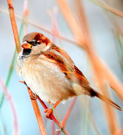Just sparrow Stock Photo - 5238270
