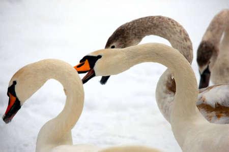 waterbird: Three graceful swans