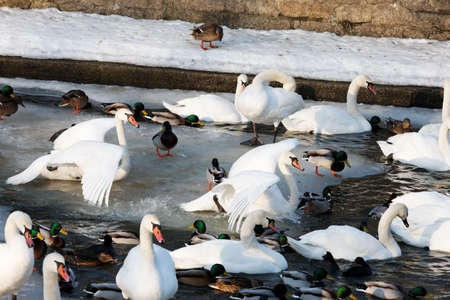 waterfowl: waterfowl by the river