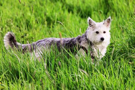 terrestrial mammals: Nice dog in the grass
