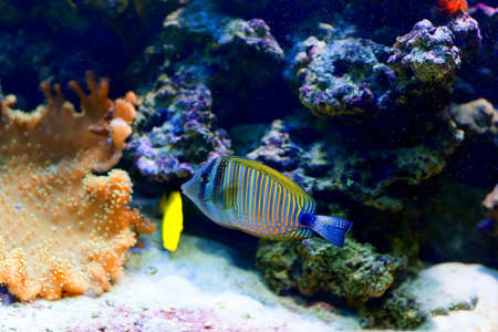 cichlid: Colorful cichlid from lake malawi, Africa