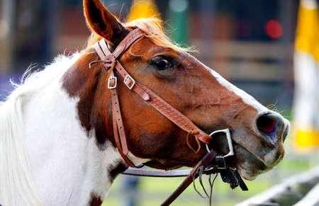 terrestrial mammals: Horse Stock Photo