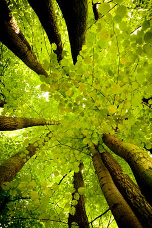 Beech canopy photo