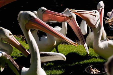 pelecanidae: Pelicans