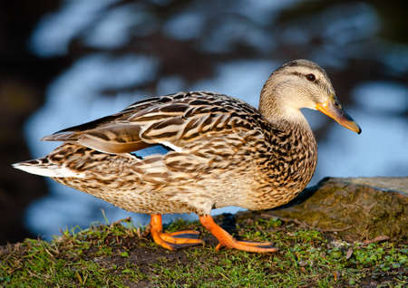 water fowl: Duck
