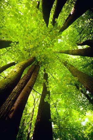 beech tree beech: Beech canopy