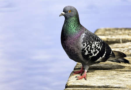 Pigeon Stock Photo - 9799360