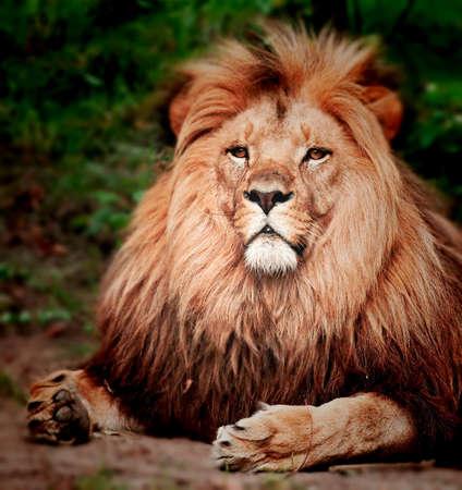 big head: Male Lion Portrait