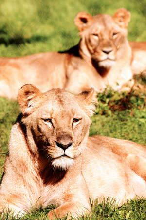 terrestrial mammal: Lioness Stock Photo