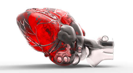 anatomy muscles: Model of human heart Stock Photo