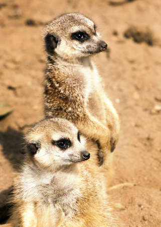Meerkats photo