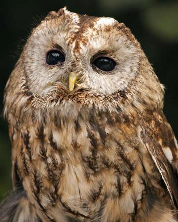 Tawny Owl (Strix aluco) Reklamní fotografie