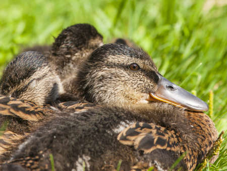 Cute ducklings on the grass photo