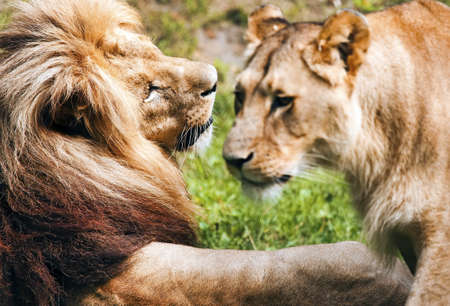 lioness: Romantic pair of lions Stock Photo