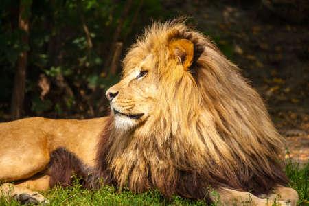 Lion Reklamní fotografie - 14898670