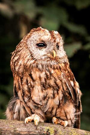 Tawny Owl (Strix aluco) photo