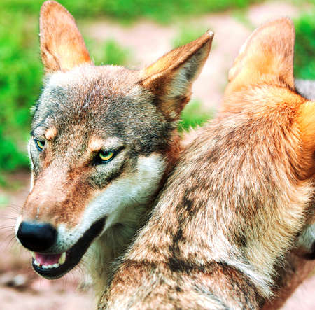 Pack of wolfs photo