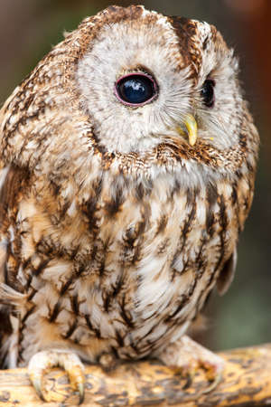 Tawny Owl  Strix aluco  photo
