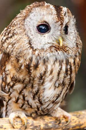 tawny: Tawny Owl  Strix aluco