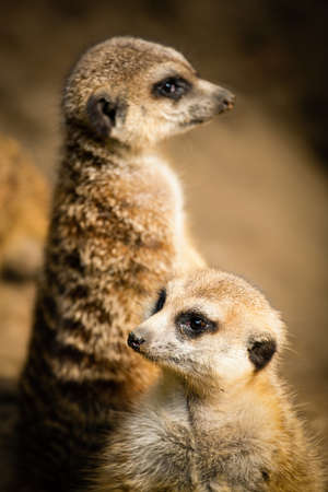 Family of cute meerkats photo