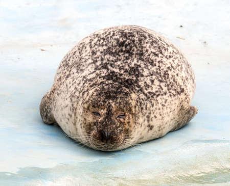 weddell:  Weddell Seal