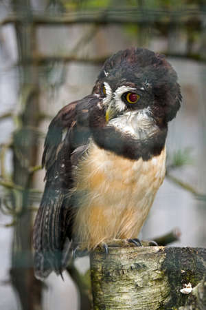 spectacled: Spectacled owl  pulsastrix perspicillata