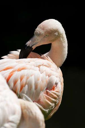 waders: Flamingo Stock Photo