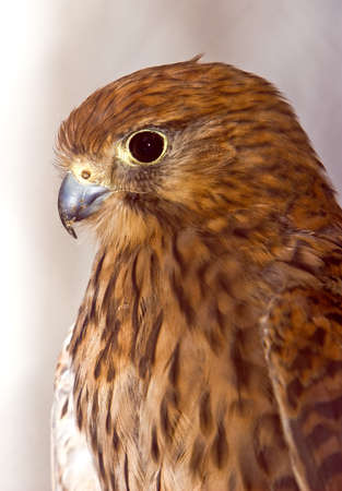 Kestrel posing  photo