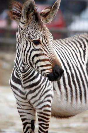 terrestrial mammal: Zebras