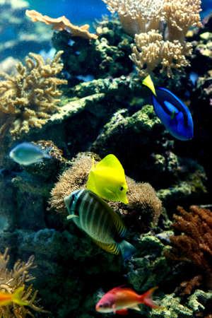 yellow tang: Tang on reef