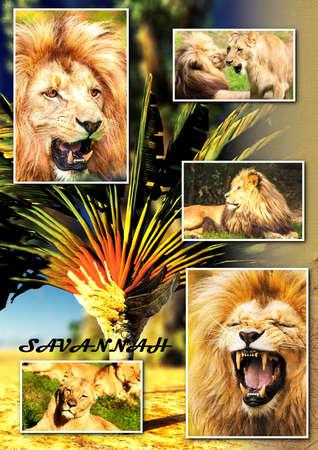 adult kenya: African savannah