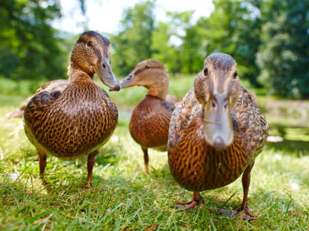 color image mallard duck: charming ducklings