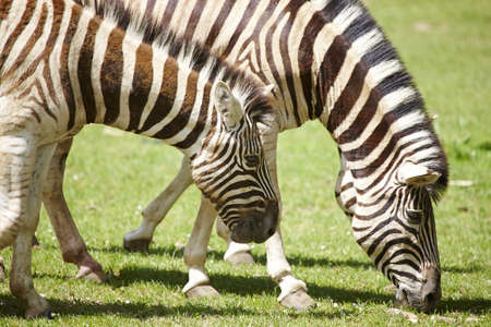 Young  zebras photo