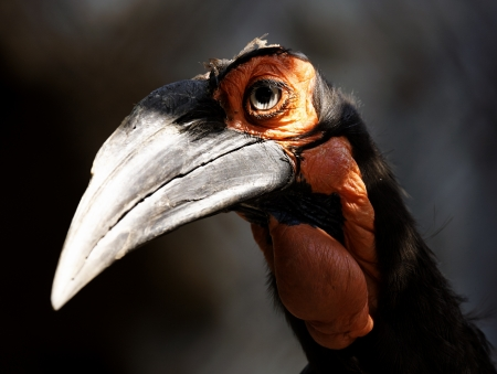Southern Ground Hornbill photo