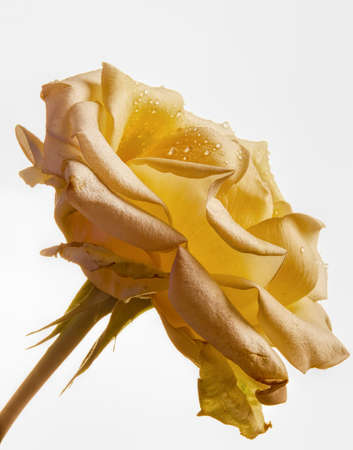 Beautiful rose photo